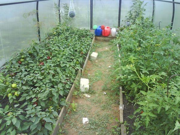 Можно ли сажать редис после него же, что будет, если рядом на одной грядке летом посеять огурцы, помидоры, лук, какие культуры лучшие соседи на этот и следующий год?
