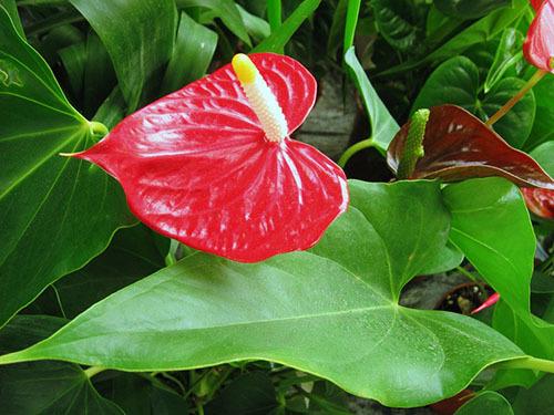 Пятна на листьях антуриума: что делать при появлении на растении черных, желтых и других вкраплений, как выглядят такие недуги цветка на фото?