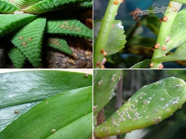Щитовка: Калифорнийская, Пальмовая, Тутовая, Запятовидная  и иные виды, их описание и фото
