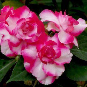 Бальзамин садовый: посадка и уход, фото цветка на клумбе, правила выращивания травянистых растений для открытого грунта, чем отличаются комнатный от уличного?