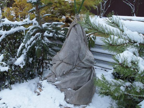 Подготовка рододендрона к зиме: как сохранить и утеплить в саду японскую азалию, садовый, особенности вечнозеленого и листопадного видов, укрытие на улице, фото