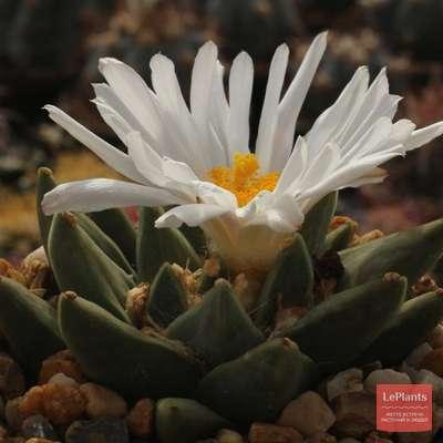 Ариокарпус (ariocarpus): описание комнатного растения, его виды и сорта, а именно Ретузус Тригонус, fissuratus, retusus, kotschoubeyanus, scapharostrus и другие