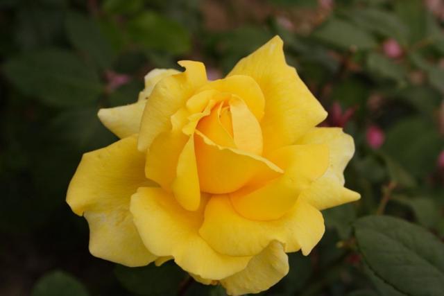 Желтые розы: фото и описание кустовых и других разновидностей цветов, названия лучших сортов, в том числе с оранжевым, белым и зеленым оттенком