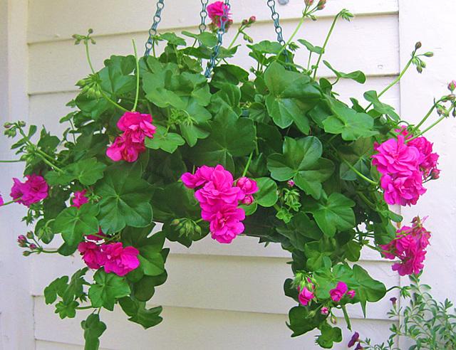 Как прищипывать пеларгонию и чем это отличается от обрезки: как правильно формировать крону в домашних условиях, а также нюансы при выращивании цветка из семян