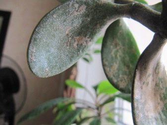 Как реанимировать денежное дерево в домашних условиях: почему погибает толстянка и что делать, как спасти и оживить, если она замерзла на подоконнике и умирает?