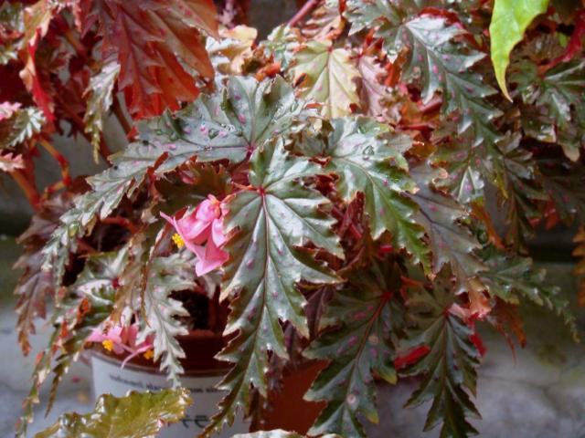 Можно ли держать дома бегонию: для чего нужна, что значит как символ, плохо или хорошо заводить это растение?
