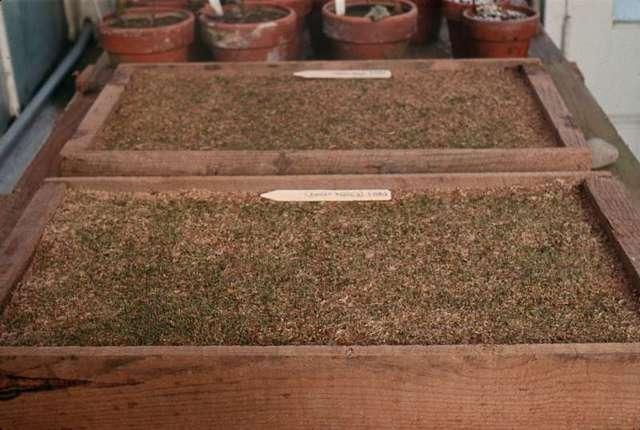 Азалия из семян: когда и как их посадить, чтобы вырастить рододендрон в домашних условиях. Уход при этом способе размножения и фото, как выглядит материал для посева