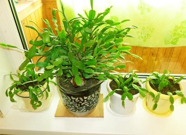 Цветок Декабрист с научным названием Шлюмбергера (schlumbergera): фото комнатного растения, описание Зигокактуса, а также как правильно ухаживать за Рождественником?