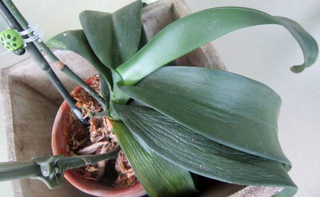 Вянет орхидея: почему это происходит, что делать, как спасти растение?