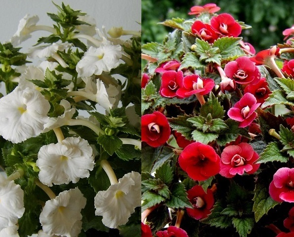 Гипоцирта уход в домашних условиях: что необходимо нематантусу для нормальной жизнедеятельности, а также фото цветка