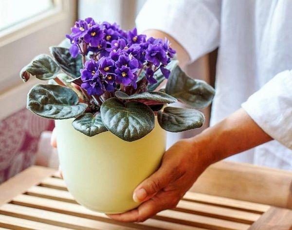 Трипс на комнатных растениях: что это, как с ним бороться, чтобы избавиться в домашних условиях, как выглядит на фото на фиалках, фикусе и иных цветочных культурах?