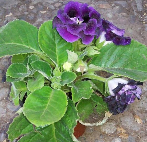Болезни глоксинии и их лечение: фотографии и обзор недугов и вредителей, в том числе почему растение вытягивается и вянет, а также какими методами его реанимировать