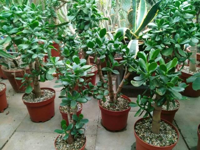 Какая земля нужна для денежного дерева: как сделать грунт в домашних условиях или выбрать готовую почву, состав которой лучше подходит, если надо сажать толстянку?