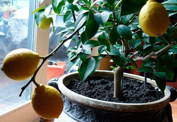 Как пересадить лимон правильно и пошагово, в том числе комнатный в горшок с новым грунтом, когда это можно делать в домашних условиях, советы по уходу за деревом