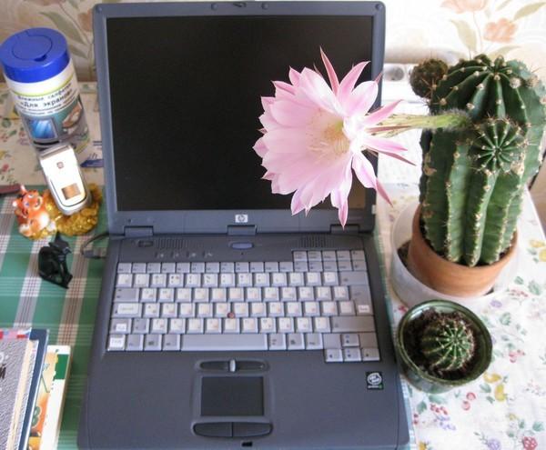 Можно ли держать дома кактусы: хорошо это или плохо, почему лучше не иметь, какой он вред оказывает, чем полезен у компьютера, где нельзя ставить в интерьере?