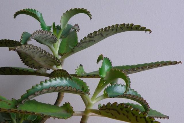 Каланхоэ Дегремона: особенности размножения, правила посадки и ухода, а также фото растения