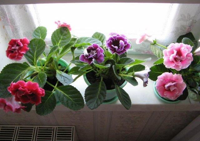 Глоксиния: посадка клубнем или семенами, как правильно сделать, уход за цветком в домашних условиях, оптимальное время для выращивания комнатного растения