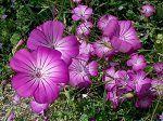 Когда сажать бархатцы: можно ли сеять под зиму в грунт, как красиво посадить в клумбе, фото, можно ли пересаживать в период цветения или в августе?