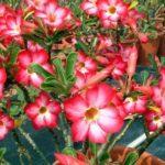 Адениум Обесум (adenium obesum): описание и фото, выращивание из семян и черенков, а также уход за растением в горшке в домашних условиях и в открытом грунте