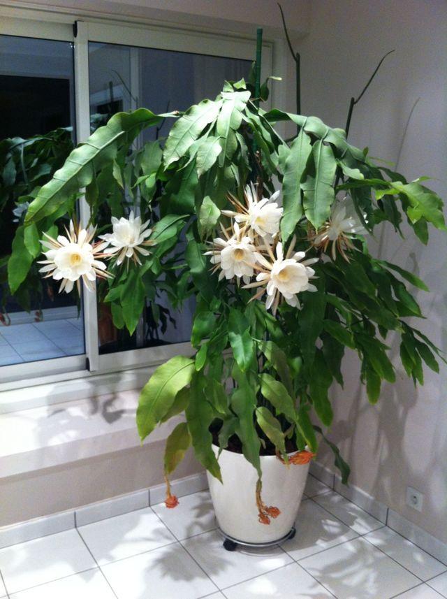 Эпифиллум (epiphyllum): что это за комнатное растение, его виды и сорта, особенности размножения и правила ухода, а также как выглядят цветы лесного кактуса на фото