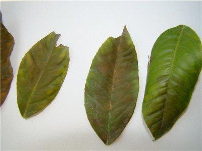 Почему у лимона опадают листья зеленые, от чего они сохнут в домашних условиях, что делать, если комнатное растение сбрасывает все плоды и не в уходе ли причина?