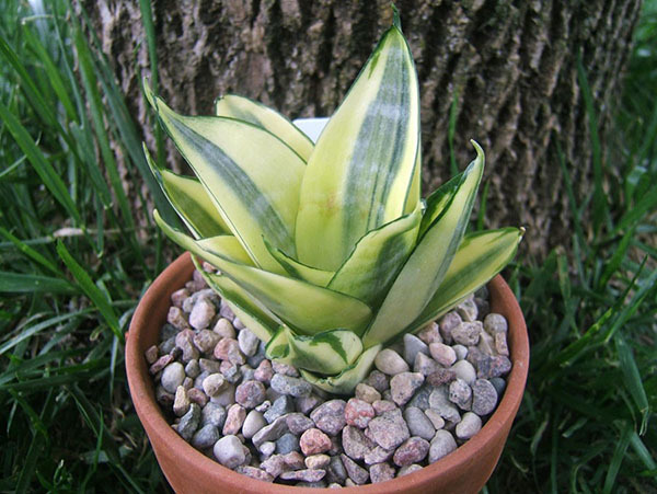 Сансевиерия (sansevieria): что это за цветок, родина и описание неприхотливого комнатного растения, как выглядит щучий хвост на фото, есть ли похожие на тещин язык?