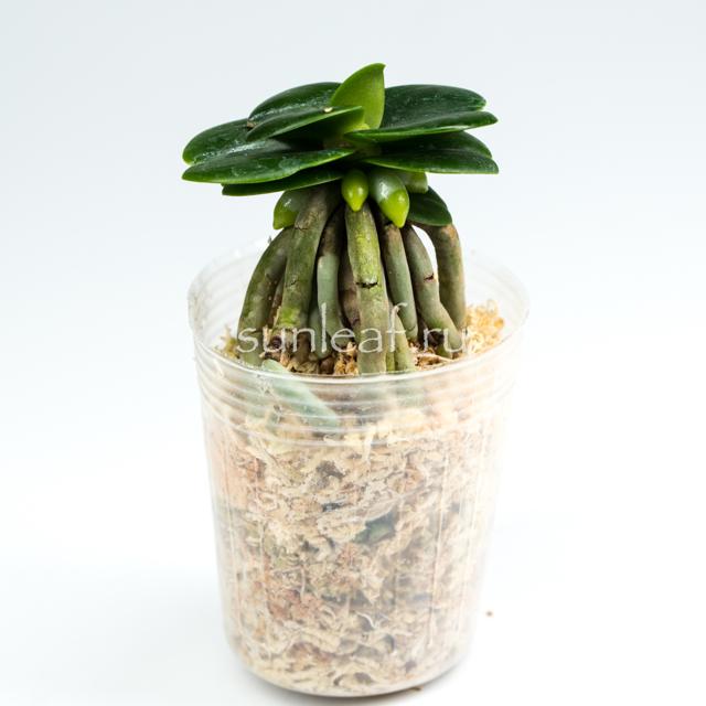 Залив орхидеи: что делать дальше, как понять, что цветок похоже переувлажнен, пути решения, если растение купили уже с такой проблемой
