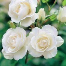 Белые розы: Голландские, Кустовые и прочие виды, а также лучшие сорта с названиями Бело-розовых (с каймой), Бело-синих, Бело-фиолетовых и других, фото цветов