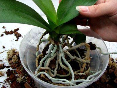 В какой грунт пересадить орхидею: как это сделать с заменой почвы, каковы требования к земле для укоренения растения и можно ли сделать субстрат самостоятельно?