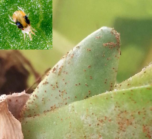 Паутинный клещ на бархатцах, тля и другие вредители растения: фото паразитов, которые съедают листья цветка, чем с ними бороться и как обработать в огороде