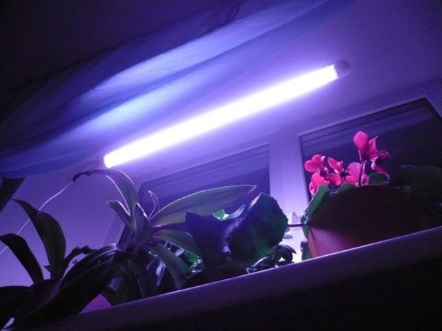 Гибискус пестролистный: фото, ботаническое описание, правила ухода в домашних условиях, особенности размножения, болезни и вредители, похожие цветы