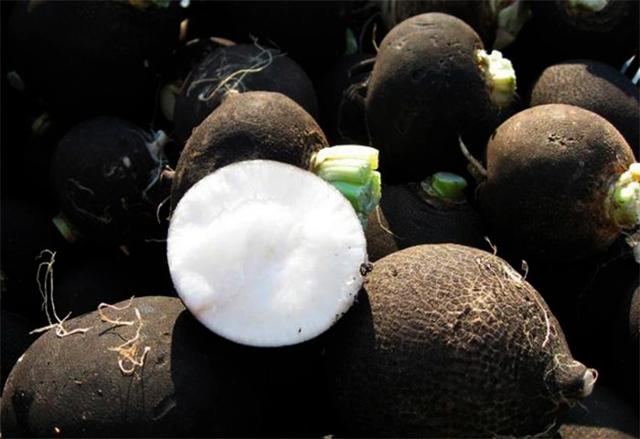 Черная редька: что это такое, как выглядит, как хранить корнеплод, а также польза и вред, фото сортов, оптимальная температура для всхода семян