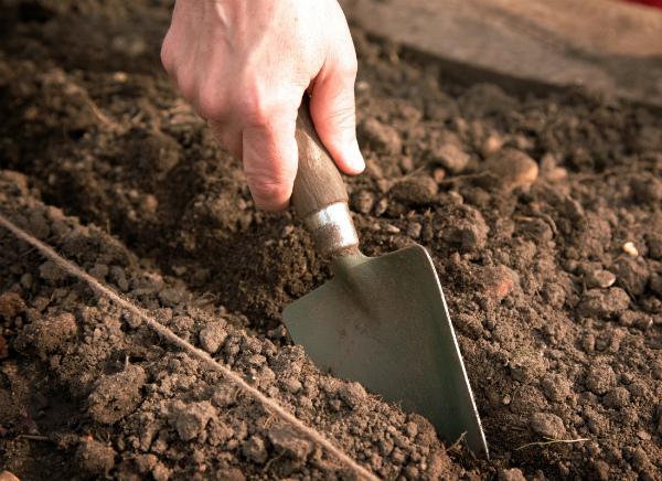 Как сажать редьку в открытый грунт семенами и когда сроки посадки в теплице или на подоконнике весной, как ухаживать за посевами и правильно организовать уход?