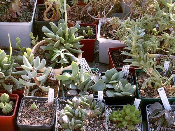 Адромискус (Аdromischus): описание и фото комнатного растения, содержание и уход в домашних условиях, размножение листом, семенами и делением куста