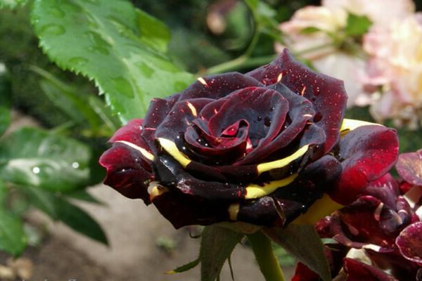 Роза Абракадабра: описание и фото сорта, история возникновения, цветение и использование в ландшафтном дизайне, пошаговая инструкция по уходу, способы размножения