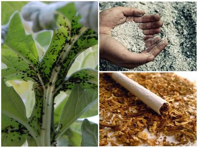 Вредители петунии: что делать, если на растении появились белые мошки, тля, паутинный клещ или белокрылка, как бороться с ними народными и иными средствами?