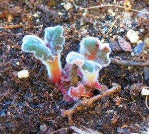 Глоксиния есения: рассмотрим фото этого замечательного цветка, болезни и особенности размножения, также всё об уходе за бархатной красавицей