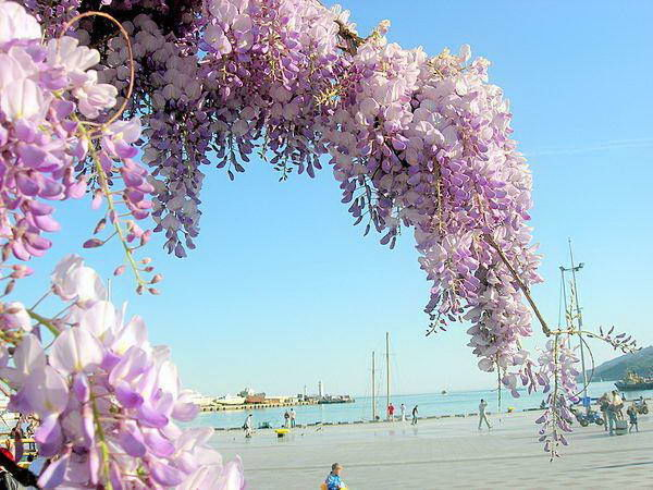 Глициния, или вистерия (wisteria): описание с фото цветов крупным планом, ядовитая или нет, где растет, и что это такое: лиана или комнатный домашний бонсай?