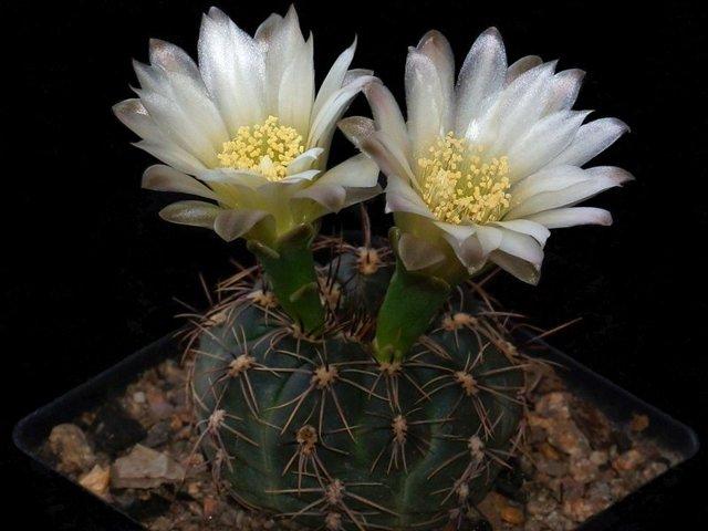 Гимнокалициум японский: описание кактуса, особенности ухода в домашних условиях, а также похожие цветы