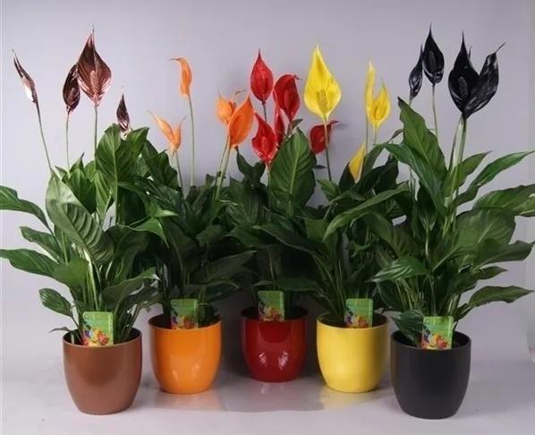 Красный спатифиллум: почему он называется женское счастье, на что похож цветок, а также какой уход в домашних условиях ему необходим и фото растения