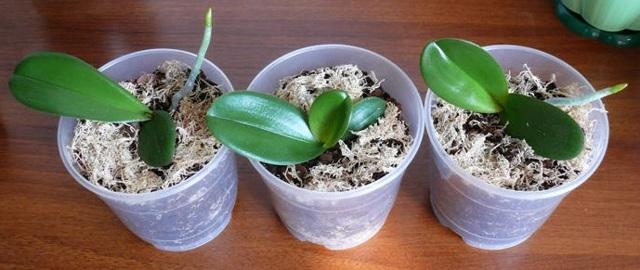 Как выращивать деток орхидеи: что сделать, для того чтобы заставить цветок дать потомство, а также что взять за основу при дальнейшем уходе в домашних условиях?