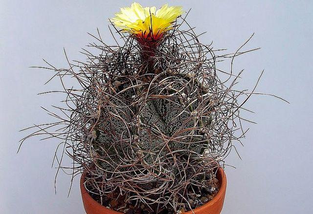 Комнатное растение Астрофитум украшенный (или Орнатум): описание вида, правила ухода, размножение, цветение, а также болезни и вредители astrophytum ornatum