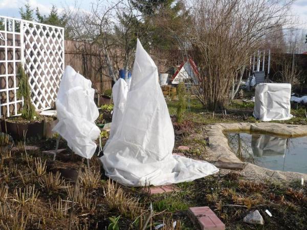 Как укрыть азалию садовую на зиму