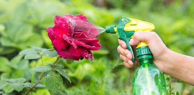 Как бороться с тлей на розах, домашних, садовых и комнатных: описание вредителя и виды, обзор покупных и народных средств, и что делать, чтобы избавиться?