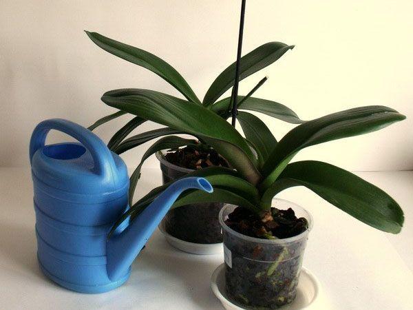 Вялые листья у орхидеи: что делать, если пожухли нижние или другие участки, почему растение желтеет и как с этим бороться, а также фото цветка с проблемами