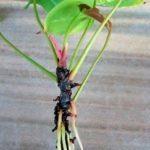 Размножение в домашних условиях антуриума: каким образом правильно посадить и обеспечить уход, чем улучшить выращивание в горшке и  как выглядит цветок на фото?