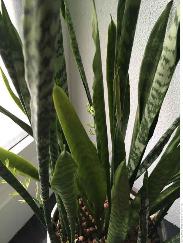 Болезни сансевиерии: фото патологий щучьего хвоста, а также почему он не растет или плохо развивается, его листья вялые, желтеют, сморщились, скручиваются и падают?