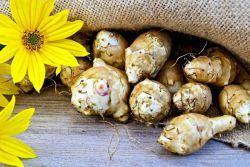 Когда выкапывать клубни топинамбура и как правильно собрать урожай для еды, а также можно ли это делать весной, если созрел?