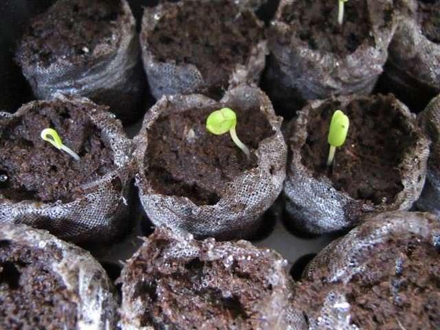 Как сохранить клубневую бегонию зимой: советы по уходу за растением до весны в домашних условиях, а также способы хранения в период холодов