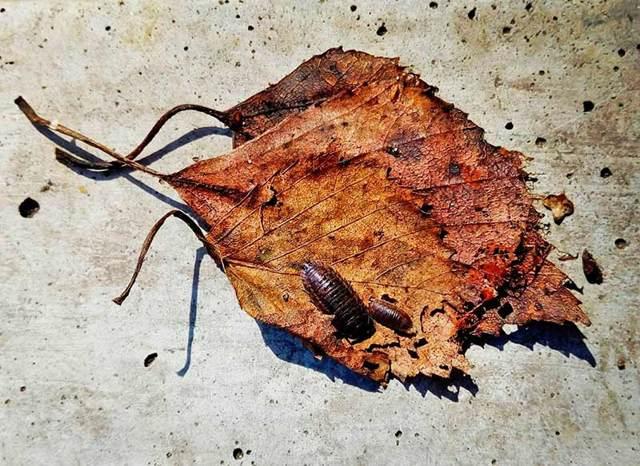 Мокрицы: фото крупным планом, размеры и как выглядят домашние, маленькие, большие и гигантские виды насекомого, сколько у них ног, какие из существ живут в квартире?